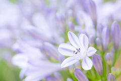 Agapantu kwiat przeciw pączkom Fotografia Stock