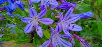 Agapantu kwiat sri lanka zdjęcie stock