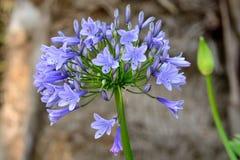 Agapantu kwiat w kwiacie Obraz Royalty Free