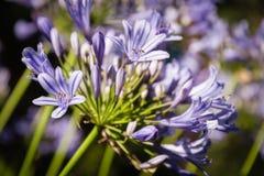 Agapantu kwiat w kwiacie Zdjęcia Royalty Free