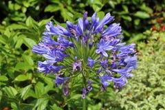 Agapantu kwiat w ogródzie Zdjęcie Stock