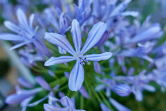Agapantu kwiat w wiośnie Obraz Stock