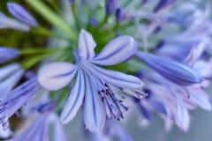 Agapantu kwiat w wiośnie Fotografia Stock