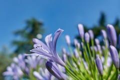 Agapantu kwiat w wiośnie Obrazy Stock