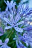 Agapantu kwiat w wiośnie Zdjęcie Stock