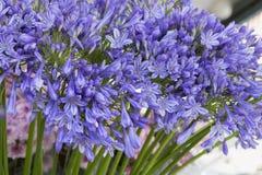 Agapantu kwiatu badyla pokaz przy kwiaciarnią Zdjęcie Stock