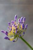Agapantu kwiatu równiny tło Obrazy Stock