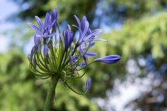 Agapantu praecox amaryllidaceae mlecznoniebiescy ornamentacyjni kwiaty w kwiacie Obrazy Stock