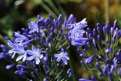 Agapanty zasadzają w kwiacie Fotografia Royalty Free