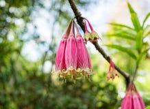 Agapetes megacarpa W W Sm , ERICACEAE, wildflower wiązki menchia Obrazy Royalty Free