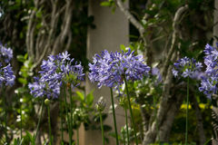 Agaphanthus umbellatus. A garden of Arapang flowers at Dalat, VIetnam Stock Photography
