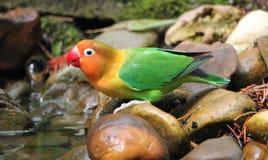 Agapornis bird standing on a stone. Bird agapornis-fischeri standing on stones next to water Royalty Free Stock Photos