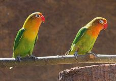 Agapornis couple Royalty Free Stock Photos