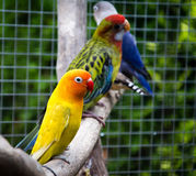 Agapornis fischeri del pappagallo (agapornis fischeri) Fotografie Stock Libere da Diritti