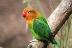 Agapornis-fischeri dell'uccello Immagine Stock Libera da Diritti