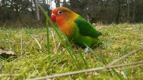 Agapornis fischeri lovebird. Lovebird fischeri bird Royalty Free Stock Photo