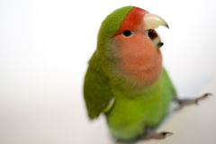 Agapornis, love bird Royalty Free Stock Photos
