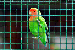 Agapornis. Lovebird green bird colored small parrot in a zoo cage Stock Images