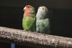 Agapornis lovebirds Obrazy Royalty Free