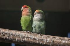 Agapornis lovebirds Zdjęcie Royalty Free