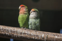 Agapornis lovebirds Royalty Free Stock Photo