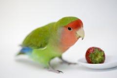 Agapornis, miłość ptak Zdjęcia Royalty Free