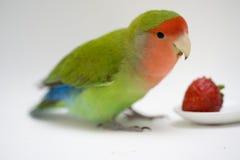 Agapornis, miłość ptak Obrazy Stock