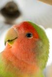Agapornis papuga Zdjęcia Royalty Free