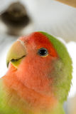 Agapornis parrot. Profile shot of peach headed agapornis parrot Royalty Free Stock Photos