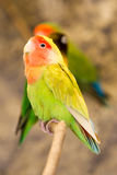 Agapornis Roseicollis Bird Stock Photo