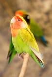 Agapornis Roseicollis ptak Zdjęcie Stock