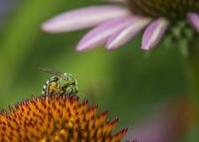 Agapostemon - abejas verdes metálicas Imagen de archivo libre de regalías