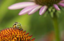 Agapostemon - abejas verdes metálicas Fotografía de archivo