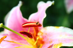 Agapostemon potu pszczoła Obraz Stock