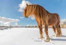 Agar, Bohemian-Moravian Belgian horse in sunny day in winter. Czech Republic.  royalty free stock images
