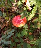 Agaric мухы, muscaria Amanita Стоковое Изображение RF