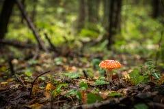 Agaric мухы muscaria Amanita a K Пластинчатый гриб мухы Гриб растет в лесе Стоковое Изображение