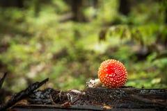 Agaric мухы muscaria Amanita a K Пластинчатый гриб мухы Гриб растет в лесе Стоковые Изображения RF