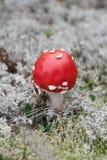 Agaric de champignon Photos libres de droits