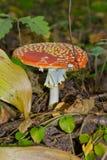 Agaric de mosca do cogumelo Fotos de Stock