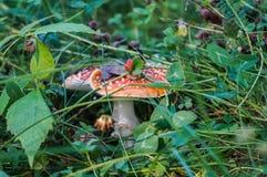 Agaric de mosca do cogumelo entre a grama Imagens de Stock