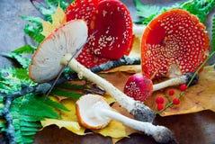 Agaric de mouche à champignons Photos stock