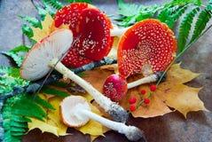 Agaric de mouche à champignons Image stock