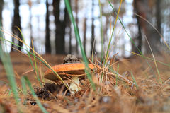 Agaric de mouche Photographie stock libre de droits