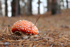 Agaric de mouche Photo stock