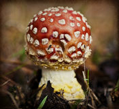 Agaric de mouche (muscaria d'amanite) Images stock
