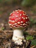 Agaric de mouche toxique de ? de champignon de couche Photo libre de droits