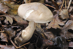 agaric fördunklad svamp Royaltyfri Bild