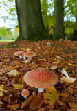 Agaric fly mushroom. Group of agaric fly mushrooms under some trees Stock Photo