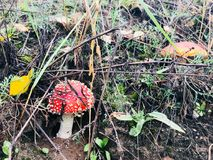 Agaric in the grass. Mushroom with a red cap hidden in the grass. Just behind the mushroom with an orange hat. On the left the yellow leaf fell Stock Image